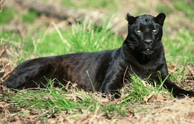 Panther - animal beginning with p