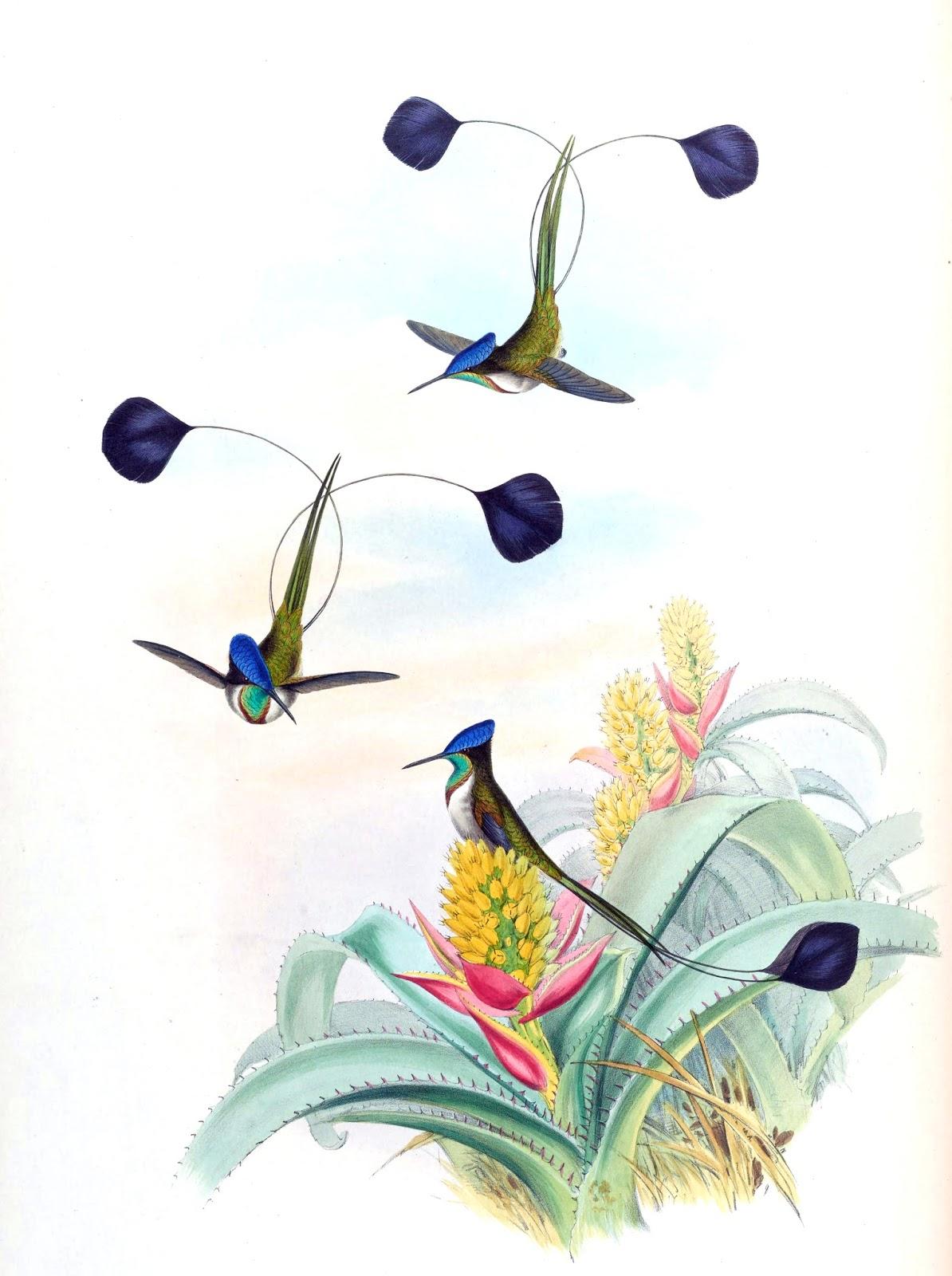 Colibri Sílfide (Loddigesia mirabilis)