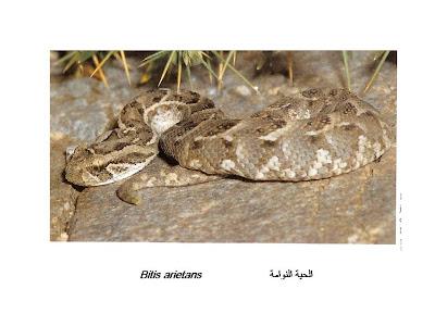 Serpiente silbadora Bitis arietans
