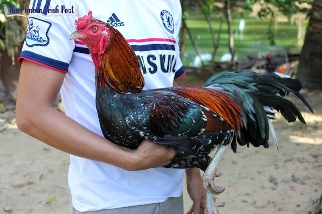 A resident of Koh Kong's Dang Tong commune holds one of his fighting cocks under his arm on Monday. Shaun Turton