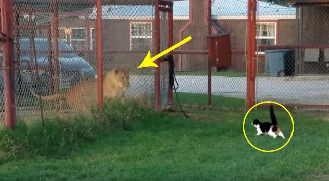 Inilah Yang Terjadi Jika Kucing Menantang Singa Yang Lebih Besar Dari Dirinya. Dia Membuktikan Ukuran Tidaklah Penting