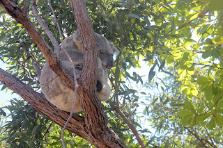 Koala in a tree, Magnetic Island, Australia