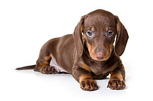 Brown Dachshund Dog puppy