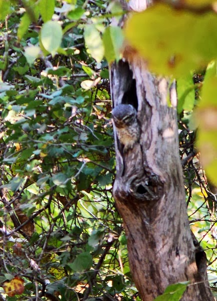 camouflaged owl on tree trunk