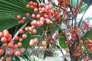 扇子树果实