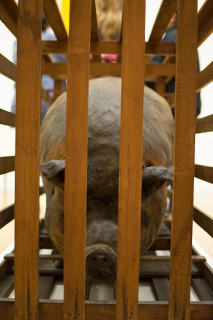 porco enjaulado fotografia pinacoteca sao paulo