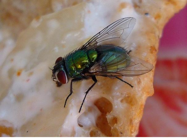 This Is What Really Happens When A Fly Lands On Your Food! It's Even More Disgusting Than What You Imagined!