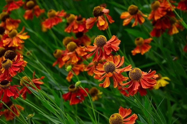 Heleniums in your fall garden
