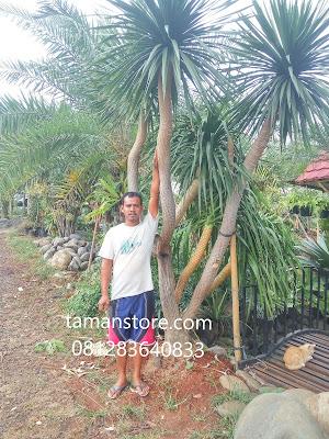 harga pohon pandan bali