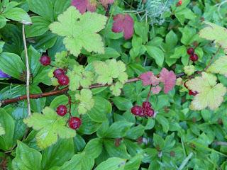 Gadellier glanduleux - Ribes glandulosum