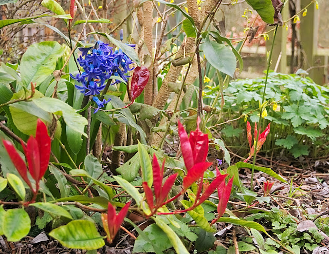 Single blue hyacinth surrouned by red leaves
