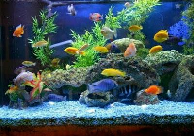 ikan hias aquascape