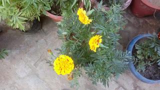 marigold flower 2102