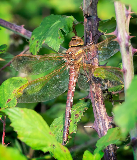 Brown and yellow brown hawker dragonfly up close with beautiful detail