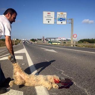 Uno de los trabajadores, con un gran respeto  por el animal, toma el cuerpo y lo saca de la  carretera. Mientras lo observo veo algo que  me paraliza:La carretera está ensangrentada y pintada de rojo con sangre de otros animales