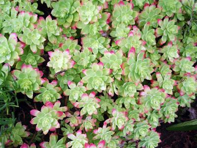 planta crasa
