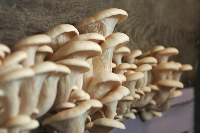 11 Manfaat jamur tiram bagi kesehatan