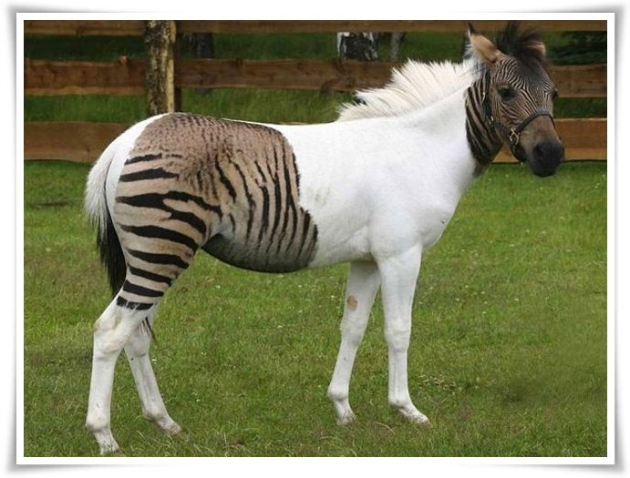 Zorse facts and pictures