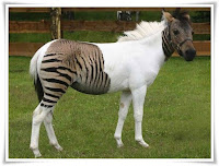 Zorse Animal Pictures