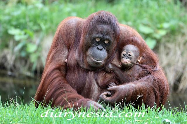 orangutan in captivity, orang utan native animal from kalimantan and sumatra, native animal from indonesia, diarynesia