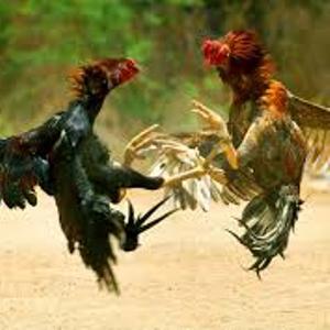 Mustika Sabung Ayam
