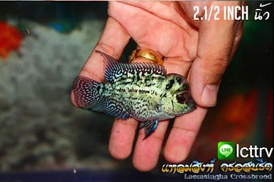 ขายปลาหมอสี แหลมสิงห์ มุก + โพไซดอน Pn