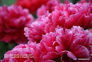 咲き揃うピンクのボタンの写真