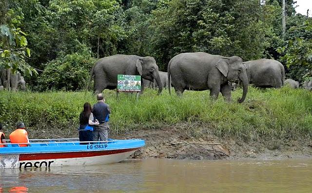 Sabah Pygmy Elephants