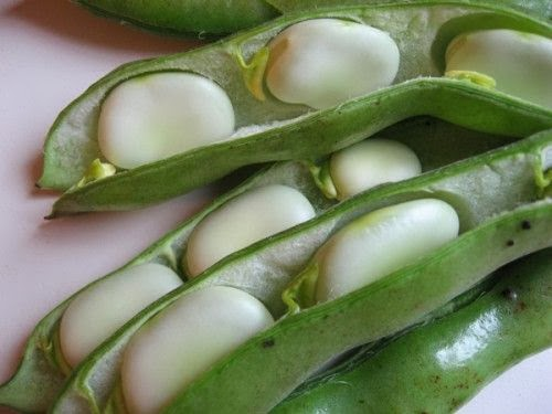 Broad bean pods slit open to reveal the seeds.