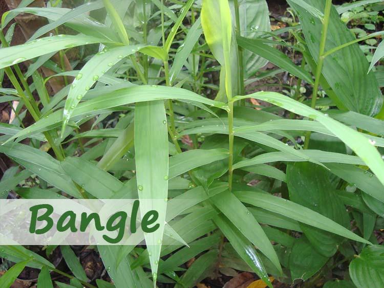 Khasiat Tanaman Bangle Sebagai Obat Herbal