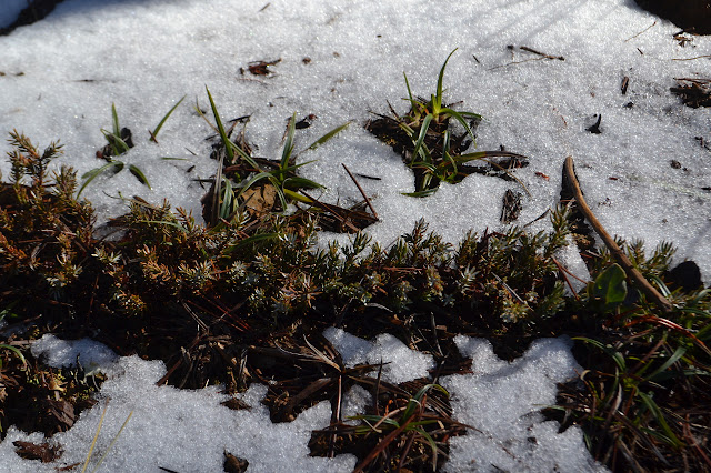 plants pushing away the snow
