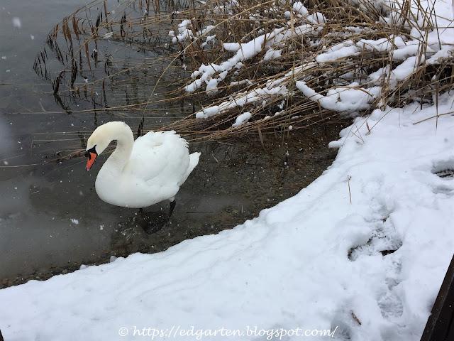 Schwan im Winter am Ufer