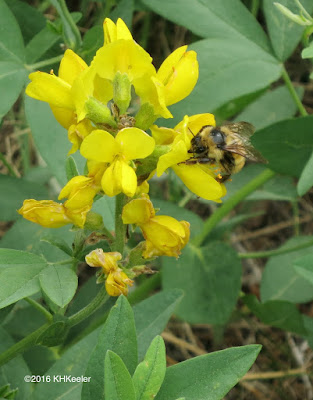 bee pollinating golden banner