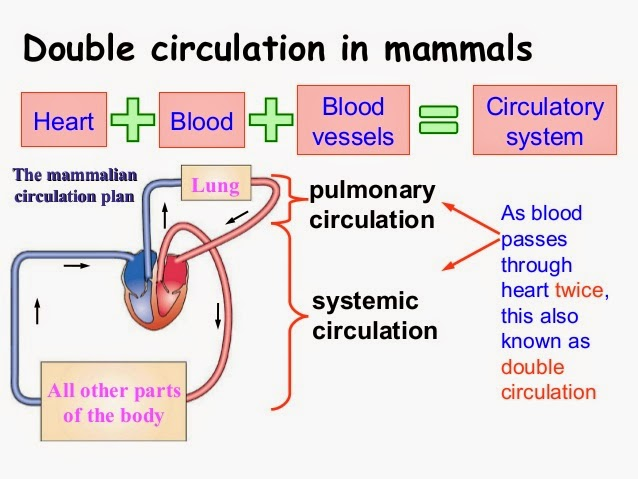 blood and the circulation system physical education essay The circulatory system essay sample the circulatory system is an organ system which is best imagined as the transportation system of the body it is composed of three main parts - the blood, the blood vessels which ferry blood across the body, and the heart which pumps the blood and keeps it flowing.