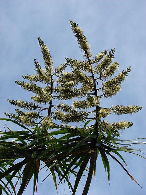 Flor: inflorescencia marginal con grupos de 3 flores