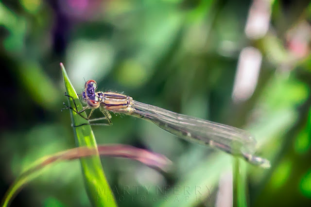 Highly detailed shot of a beautiful damselfly at Ouse Fen Nature Reserve