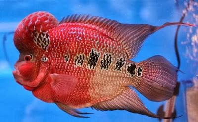 lou han ikan hias air tawar pembawa keberuntungan katanya