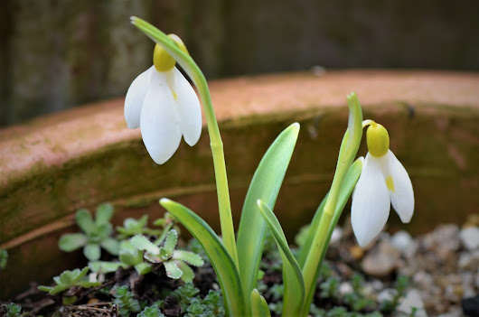 Galanthus in Variety