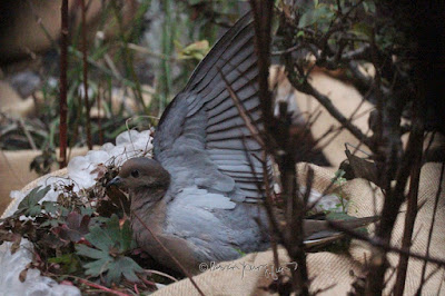 """Mourning Dove in my rooftop garden who is holding up his wing. Sometimes this bird type does this to attract a mate which is one of the points I discuss in volume one of my book series, """"Words In Our Beak."""" Info re these books is in another post on this blog @ https://www.thelastleafgardener.com/2018/10/one-sheet-book-series-info.html"""