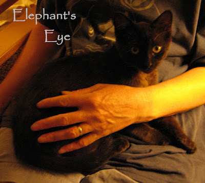 Chocolat as a wary kitten in January 2007