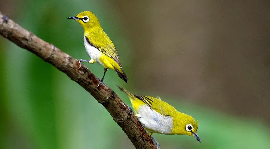 Cara Agar Burung Pleci Cepat Gacor