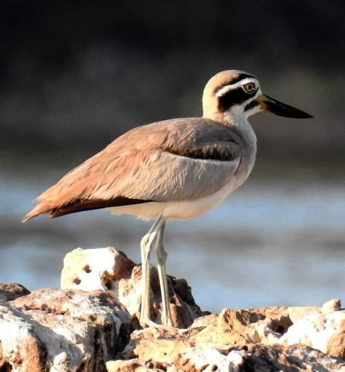 Indian birds - Picture of Great thick-knee - Esacus recurvirostris