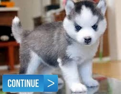 husky cross pomeranian youtube