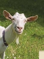 Nature by Canus goat.jpeg