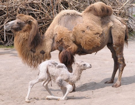 Baby Animals: Camel - Calf 35