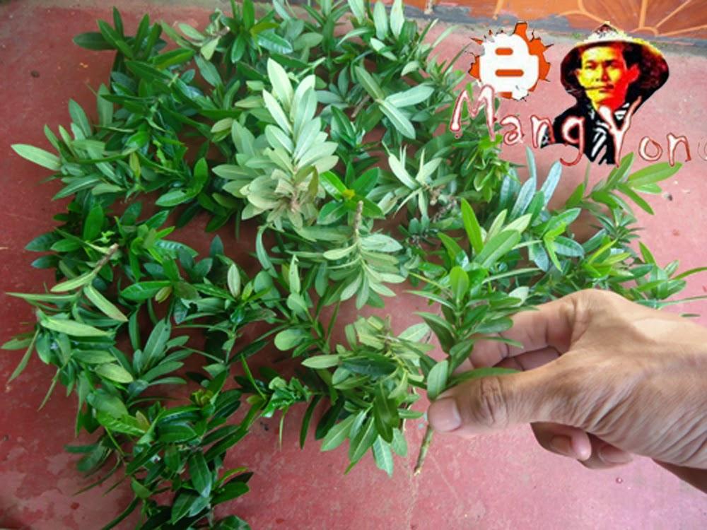 Poto (2). Memilih batang dan daun Soka yang bagus dan tidak terserang hama