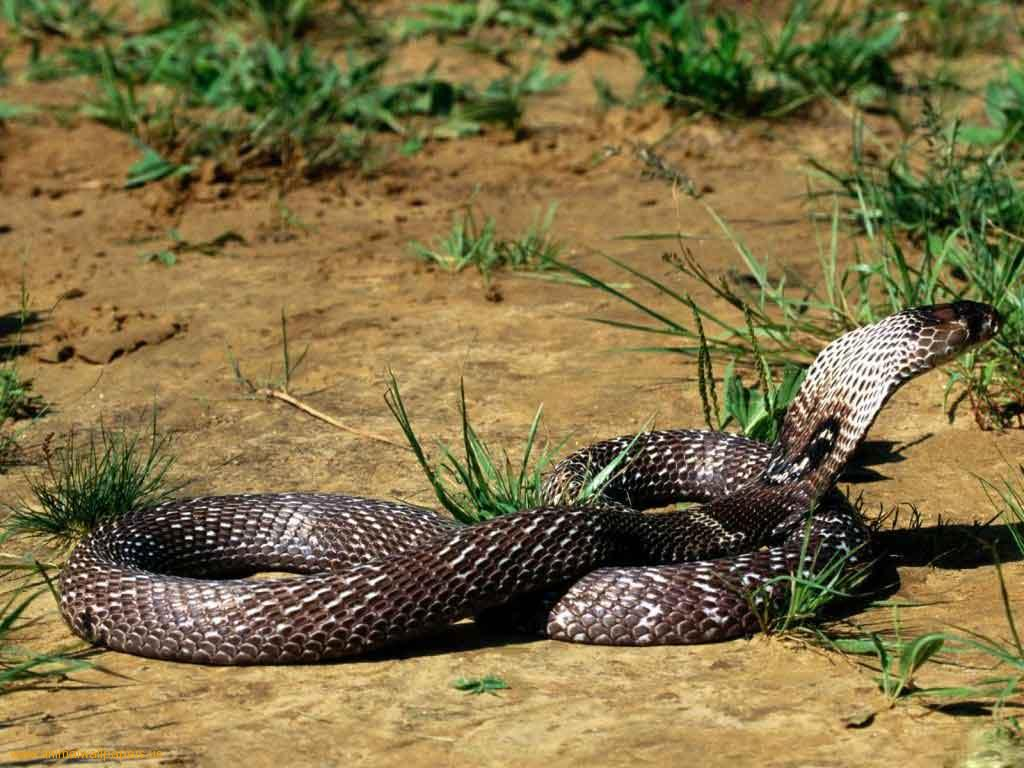 King Cobra Attack Human | Pics | Download |