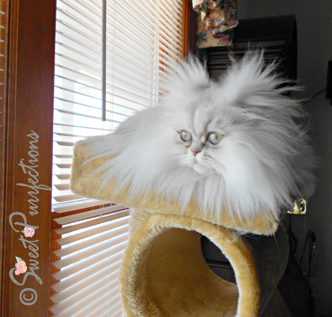 Wild haired Brulee in the top of the cat tree