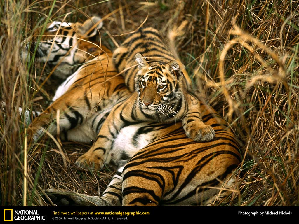 Bengal Tigers From National Geographic Bengal Tiger Research Tiger Cubs Free National Geographic Pix