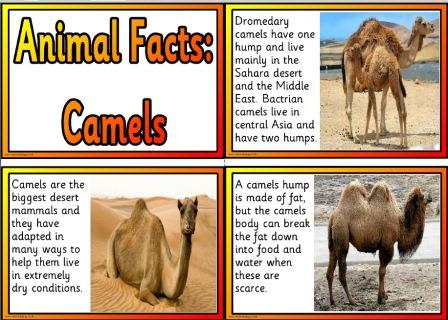 a look at two humped bactrian camel of central asia Bactrian camels have two humps, as opposed to dromedary camels which have one hump which are critically endangered in their native central and east asia.